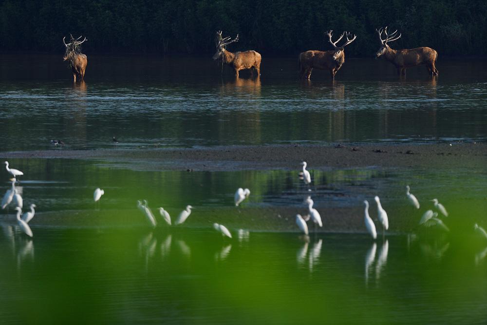 Père David's deer, or Milu, Elaphurus davidianus, with Egrets of 4 species (Great white, Cattle, Little and Intermediate), Hubei Tian'ezhou Milu National Nature Reserve, Shishou, Hubei, China