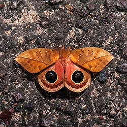 """""""Mariposa-olho-de-boi sp. (Automeris sp.) fotografado em Linhares, Espírito Santo -  Sudeste do Brasil. Bioma Mata Atlântica. Registro feito em 2014.<br /> <br /> <br /> <br /> ENGLISH: Butterfly-eye-of-ox photographed in Linhares, Espírito Santo - Southeast of Brazil. Atlantic Forest Biome. Picture made in 2014."""""""