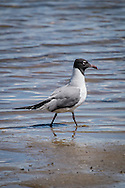 The laughing gull gets its name from its raucus call.