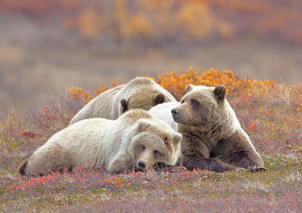 Alaska. Brown bear (Ursus arctos) sow with two yearling cubs resting on the autumn tundra, Denali National Park.