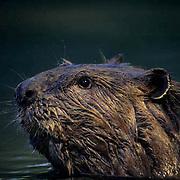 Beaver, (Castor canadensis)