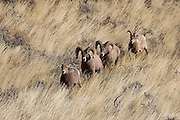 """Images from """"Battling Bighorns"""" photo tour"""
