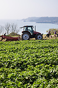 Farmers in a tractor and picking the new crop of Jersey Royal potatoes in a field overlooking Archirondel Tower and the east coast of Jersey, CI
