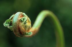 Emerging foliage of tree fern - Dicksonia antarctica