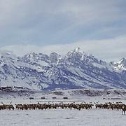 Elk (Cervus canadensis) herd at wintering grounds in Jackson Hole National Elk Refuge, Wyoming.