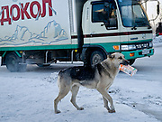 Homeless dog with a Tetra Pak package in his mouth during -30 degrees celsius looking for food in the center of Yakutsk. Yakutsk is a city in the Russian Far East, located about 4 degrees (450 km) below the Arctic Circle. It is the capital of the Sakha (Yakutia) Republic (formerly the Yakut Autonomous Soviet Socialist Republic), Russia and a major port on the Lena River. Yakutsk is one of the coldest cities on earth, with winter temperatures averaging -40.9 degrees Celsius.