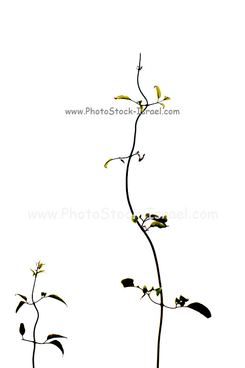 leaves cling to a plant stem on white background