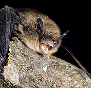 Whiskered Bat Myotis mystacinus Wingspan 19-23cm Similar to Brandt's Bat but smaller in all respects. Identification relies on dentition studies. Adult has long, fluffy fur, dark brown above and greyish below. Ears are dark brown with a longer tragus than in Whiskered. Wings are dark brown and rather narrow. Utters high-pitched squeaks if disturbed. Echolocates in 40-80khz range. Widespread but local. Favours open woodland and park grassland; often feeds over meadows or near water. Emerges from roost after dark. Roosts in tree holes and bat boxes in summer, hibernates in caves, mines and tunnels.