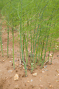 Asparagus plants in field Sutton Suffolk England