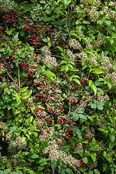Seedheads of Clematis vitalba - Travellers Joy, Old Man's Beard - growing in a hedgerow with  the berries of Crataegus monogyna - Common hawthorn, Maythorn, Motherdie, Quickthorn, Hedgerow thorn
