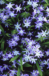 Chionodoxa forbesii syn. C.luciliae of gardens. Glory of the snow