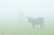 Young bull moose (Alces alces) in meadow in fog<br />