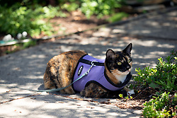 Zelda the cat watches the world go by her Oakland, Calif. home, Sunday, May 24, 2020. (Photo by D. Ross Cameron)