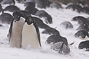 Adelie Penguin couple are bonding and in the background adelie penguins on lay on eggs during a storm.