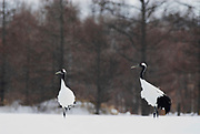 Red Crowned Crane, Grus japonensis, pair, together Hokkaido Island, japanese, Asian, cranes, tancho, crested, white, black,  wilderness, wild, untamed, photography, ornithology, snow.