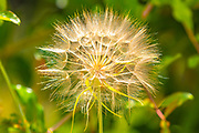 close up of a fluffy Dandelion blowball on green natural background
