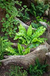 Ferns in the stumpery at John Massey's garden with Asplenium scolopendrium Crispum Group and Asplenium trichomanes 'Ramocristatum'