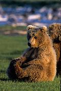 Alaska, Katmai National Park. Brown Bear cub sitting on his haunches.