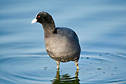 Eurasian Coot (Fulica atra) near water Photographed in Israel in December