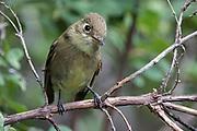 Cordilleran flycatcher, Empidonax occidentalis, gikves the side eye, Sandia Mountains, New Mexico