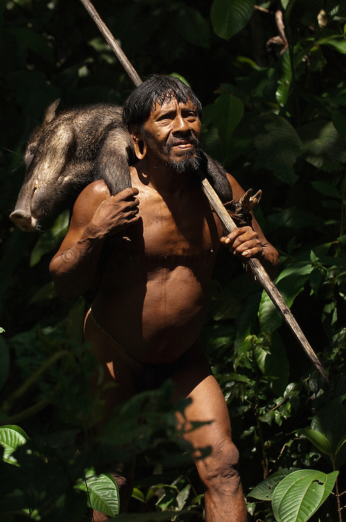 Huaorani Indian, Meñewa Wane & peccary carrying home a White-lipped peccary that he hunted with his lance. The lances are made from a palm trunk.<br /> Bameno Community. Yasuni National Park.<br /> Amazon rainforest, ECUADOR.  South America<br /> This Indian tribe were basically uncontacted until 1956 when missionaries from the Summer Institute of Linguistics made contact with them. However there are still some groups from the tribe that remain uncontacted.  They are known as the Tagaeri & Taromenane. Traditionally these Indians were very hostile and killed many people who tried to enter into their territory. Their territory is in the Yasuni National Park which is now also being exploited for oil.