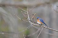 Male Eastern Bluebird with his feathers fluffed up a little while perched on a tree branch in upstate, NY.