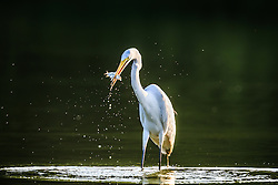 Backlit great egret fishing in pond, Great Trinity Forest, Dallas, Texas, USA