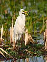 Arthur J Marshall National Wildlife Reserve - Loxahatchee, Florida, USA. Great Blue Heron (White morph), (Ardea herodias)