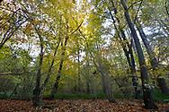 Autumn woodland, Stoke Wood, Oxfordshire