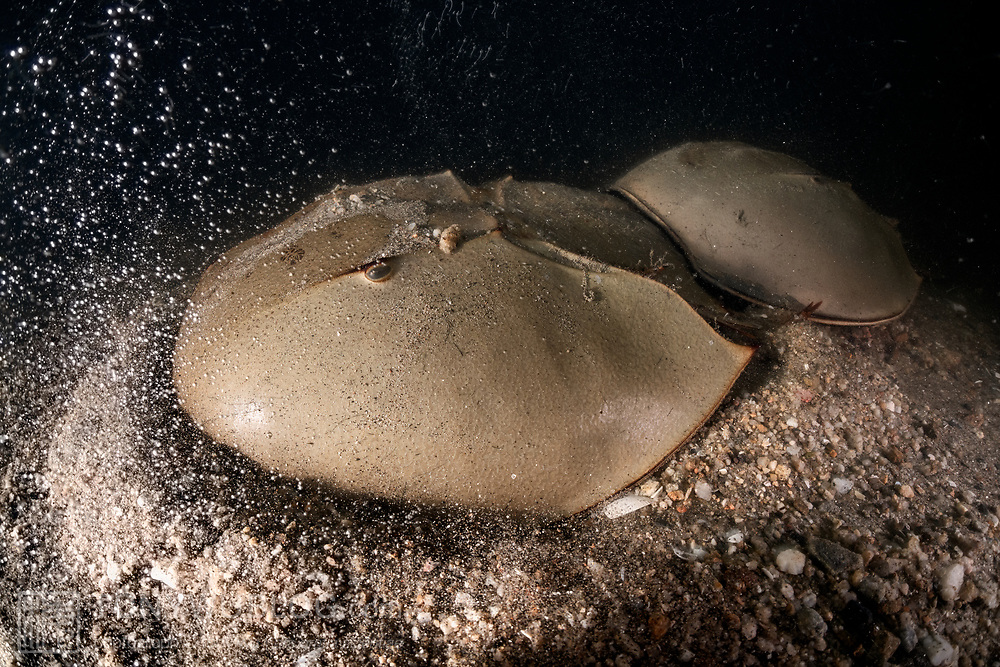 This is a pair of endangered tri-spine horseshoe crabs (Tachypleus tridentatus) preparing to spawn. The larger female in front has chosen a place to deposit eggs. She has just commenced digging. The bubbles are the result of pockets of air trapped in the mud and gravel being released due to the female's excavation. Spawning takes place in the intertidal zone, which is the reason that air is present in the sediment. The smaller male is firmly affixed to the female's opisthosoma. He will fertilize the eggs she deposits, and then the pair will move on to find another location to spawn again.<br /> <br /> Although these animals are called crabs, they are not members of the Subphylum Crustacea. They belong to a separate Subphylum—Chelicerata—which also comprises sea spiders, arachnids, and several extinct lineages such as sea scorpions. The earliest known fossils of horseshoe crabs date back 450 million years ago, qualifying these animals as living fossils, as they have remained largely unchanged.<br /> <br /> Tachypleus tridentatus is the largest of the four living species of these marine arthropods, all of which are endangered.<br /> <br /> Though habitat loss and overharvesting of these animals for food are primary contributors to the population decline of horseshoe crabs, the biomedical industry is also a major factor. Horseshoe crabs are bled for their amoebocytes (akin to white blood cells), which are used to derive an extract that reacts in the presence endotoxin lipopolysaccharide, which is found in the membranes of gram-negative bacteria. Estimates suggest that between three and 30% of the animals die as a result. There have also been suggestions that taking up to a third of each animal's blood adversely affects their ability to undertake vital functions, such as procreation, even if the animals survive.<br /> <br /> Synthetic substitute tests have been available since 2003. The biomedical industry has however been reluctant to discontinue the practice of bleedi