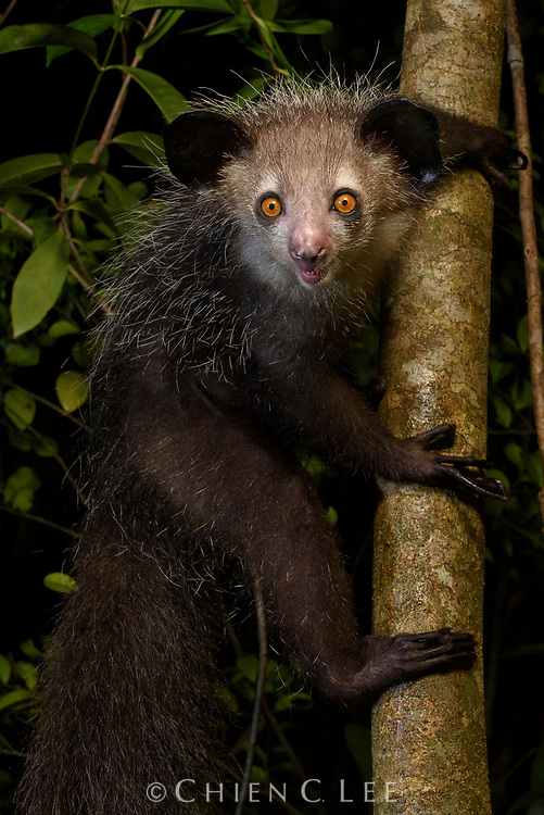 Feared by some, revered by others, the Aye-aye (Daubentonia madagascariensis) is surely one of Madagascar's most bizarre lemurs. Unique among primates, the Aye-aye's front incisors grow continuously like a rodent, leading to the early belief that they were some sort of gigantic nocturnal squirrel. Equally unusual are its long bony middle fingers which are used by the animal to tap tree trunks for the sound of insect grubs inside and then extract them like a fish hook. Unfortunately, Aye-ayes have become gravely endangered from habitat loss and persecution by people: they are often killed on sight due to the superstition that they are an omen of death. Tomasina, Madagascar.