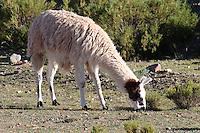 LLAMA (Lama glama) PASTANDO EN LA PUNA, PROV. DE JUJUY, ARGENTINA<br /> <br /> Lama (Lama glama) al pascolo, Provincia di Jujuy, Argentina