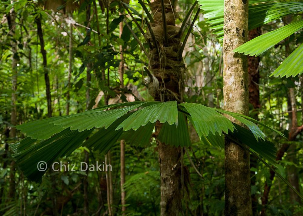Licuala ramsayi - Australian Fan Palm. Typical lush green foliage of the understorey view in the Cape Tribulation rainforest, near Daintree, Far North Queensland, Australia.