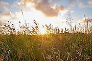 Sunset through Field