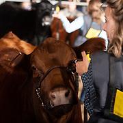 20-J011-Merit Heifer Show