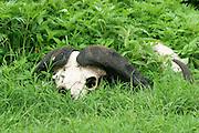 Africa, Tanzania, Ngorongoro National Park. skull of an African Buffalo AKA Cape Buffalo (Syncerus caffer)