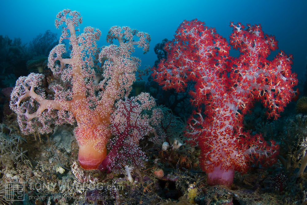 Multicolored soft corals inflated to feed in the current passing over Sullivan's Patches, a beautiful coral reef located in Milne Bay, Papua New Guinea