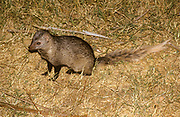 The white-tailed mongoose (Ichneumia albicauda) is a species in the mongoose family (Herpestidae). It is the only member of the genus Ichneumia. The white-tailed mongoose lives in most of Africa south of the Sahara, and the southern portion of the Arabian Peninsula. It lives in a wide range of habitats, from semi-desert to savanna woodland, but avoid moist areas like the Congo River basin or extremely arid areas. It prefers areas of thick cover, such as the edges of forests and brushy streams.