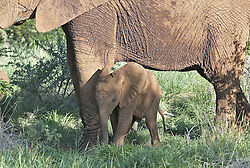 July 6, 2015 - Young African Elephant, Madikwe National Park, South Africa  (Credit Image: © Tuns/DPA/ZUMA Wire)