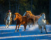 Horses running on a snow covered field on a ranch in northeastern Wyoming