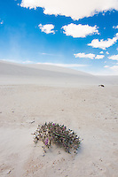 One of the hardiest of all desert wildflowers... this sand verbena persists when all other plants fail.
