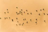 Aerial view of camels Dubai, United Arab Emirates