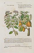 Botanical illustration of a Viburnum tinus (Laurustinus, laurustinus viburnum or laurestine) tree. By Mathias Lobel. Printed in 1576