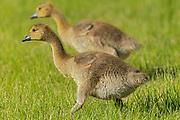 Canada geese - goslings Canada goose (Branta canadensis)<br />Winnipeg<br />Manitoba<br />Canada