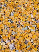 Golden color of Paper Birch leaves, Betula papyrifera, carpeting gravel bar of the Middle Fork Flathead National Scenic River near Cascadilla Creek, John Stevens Canyon, Theodore Roosevelt Pass, Flathead National Forest, Montana.