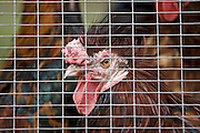 Chicken penned inside a hen house, Cotswolds, United Kingdom.   If Avian Flu (Bird Flu) spreads from Europe all poultry may be forced indoors.