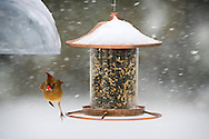 Merrick, New York, USA. January 23, 2016. Travel is for the birds only, when Blizzard Jonas brings dangerous snow and gusting winds to Long Island, and Governor Cuomo bans travel, shutting down L.I.'s roads and railroads, due to hazardous conditions. A female cardinal flies from a hanging platform bird feeder in a suburban backyard, as the winter Storm of 2016 already dropped over a foot of snow on the south shore town of Merrick, with much more snow expected throughout Saturday and early Sunday.