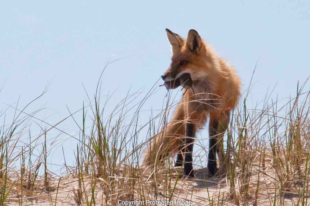 A Red Fox Parent returns from his night hunt with a mouth of rodents to provide for his kits in the Cape Cod National Seashore.