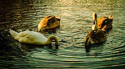 Adult swan and cygnets feeding in a pond<br /> <br /> (c) Andrew Wilson | Edinburgh Elite media