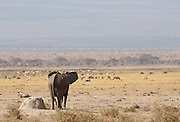 Lone African elephant looking over plains in Amboseli National Park, Kenya